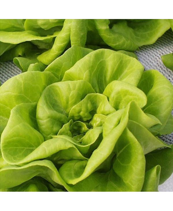 Zwiędnięta sałata lub zioła?